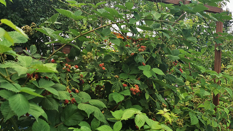 Egal ob zum Naschen oder für Marmelade oder Kuchen: Beeren dürfen im Garten nicht fehlen!